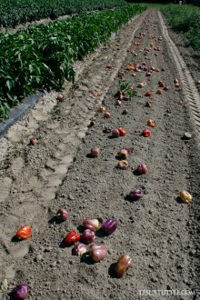 Peppers and Tractor Tracks