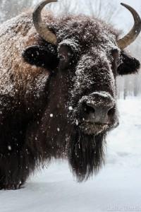 Yankee Farmer Bison_0049 copy